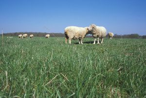 800px-Several_sheep_taken_from_ground_level